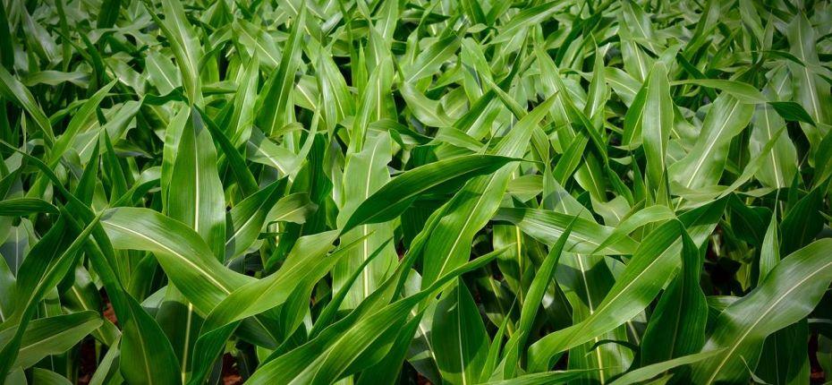 Кукуруза и соя способны определить наличие сорняков  - ООО ТД Кирово-Чепецкая Химическая Компания