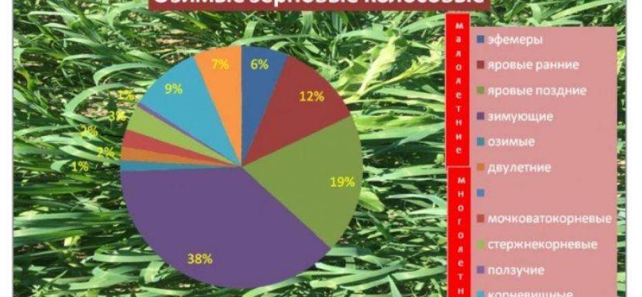 Какие сорняки преследуют важные сельскохозяйственные культуры  - ООО ТД Кирово-Чепецкая Химическая Компания
