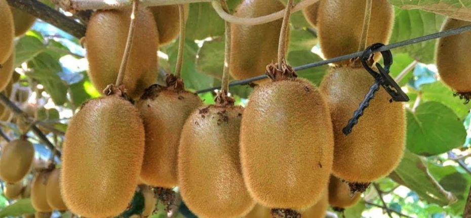 Россия будет выращивать киви в теплицах - ООО ТД Кирово-Чепецкая Химическая Компания
