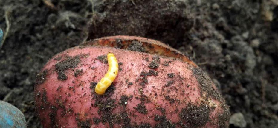 Проволочник на картофеле – 3 совета от экспертов - ООО ТД Кирово-Чепецкая Химическая Компания