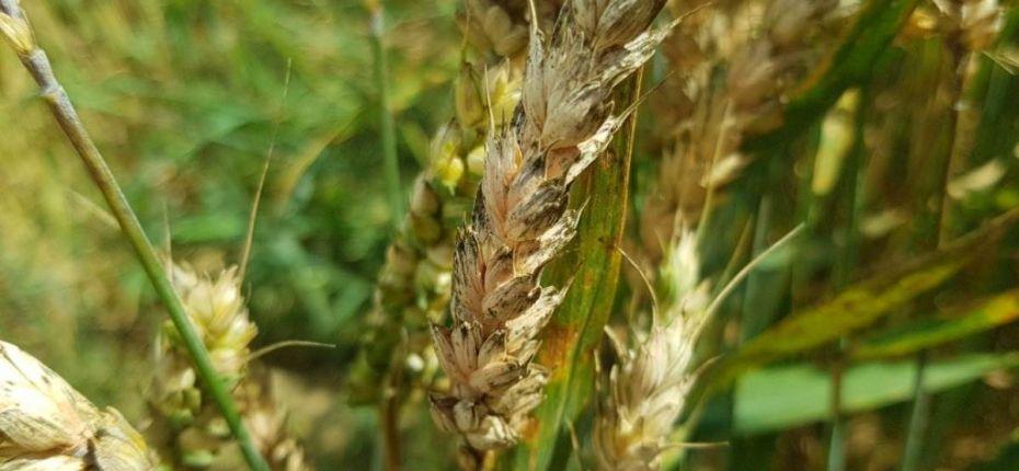 Контроль фузариоза на пшенице после кукурузы - ООО ТД Кирово-Чепецкая Химическая Компания