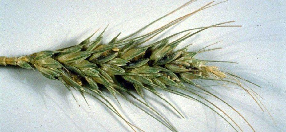 Индийская, или карнальская, головня пшеницы - ООО ТД Кирово-Чепецкая Химическая Компания