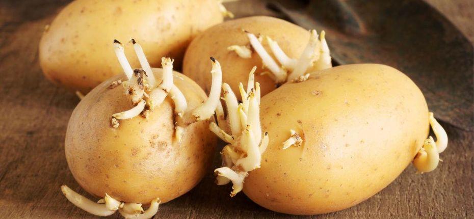 Как хранить картофель, чтобы он не прорастал - ООО ТД Кирово-Чепецкая Химическая Компания