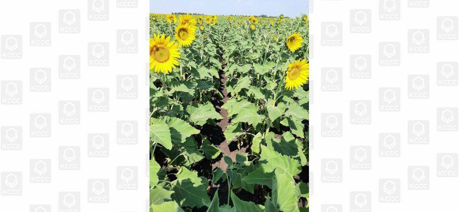Хорошая защита подсолнечника от сорных растений. СПОК ИСТОК - ООО ТД Кирово-Чепецкая Химическая Компания