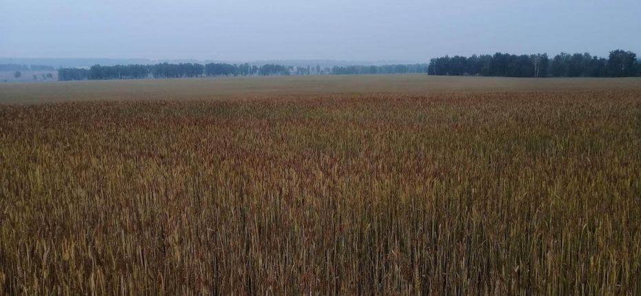 Применение Тайгер 100, КЭ на яровой пшенице - ООО ТД Кирово-Чепецкая Химическая Компания
