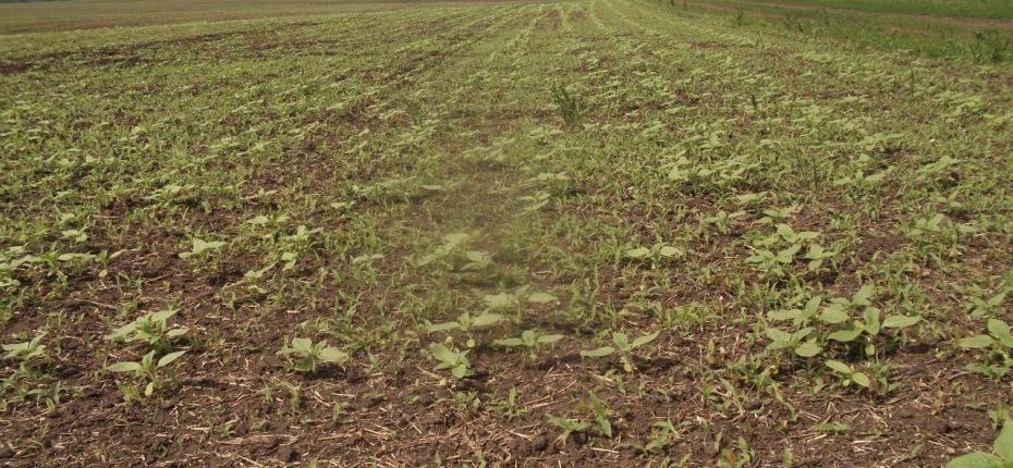 Применение граминицида Канон,КЭ для контроля злаковых сорняков в посевах подсолнечника в КФХ