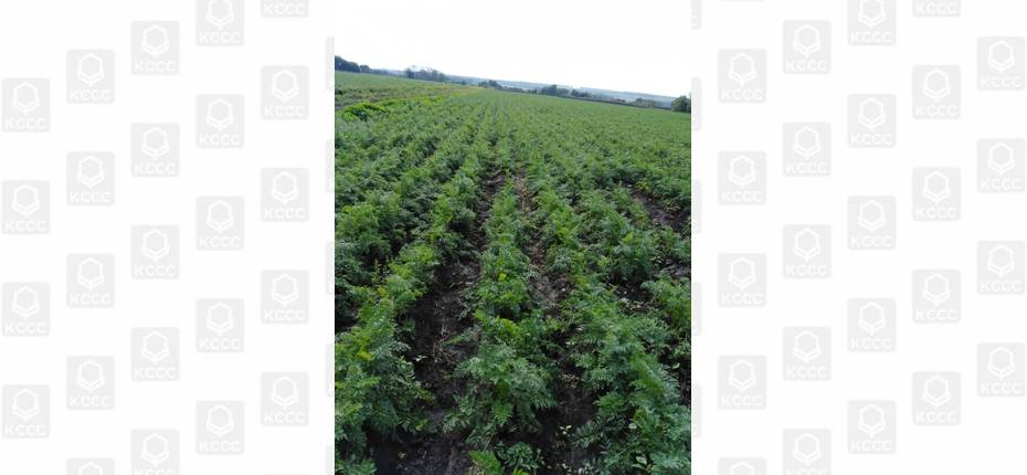 Возделывание овощей (картофель, капуста, морковь) в совхозе