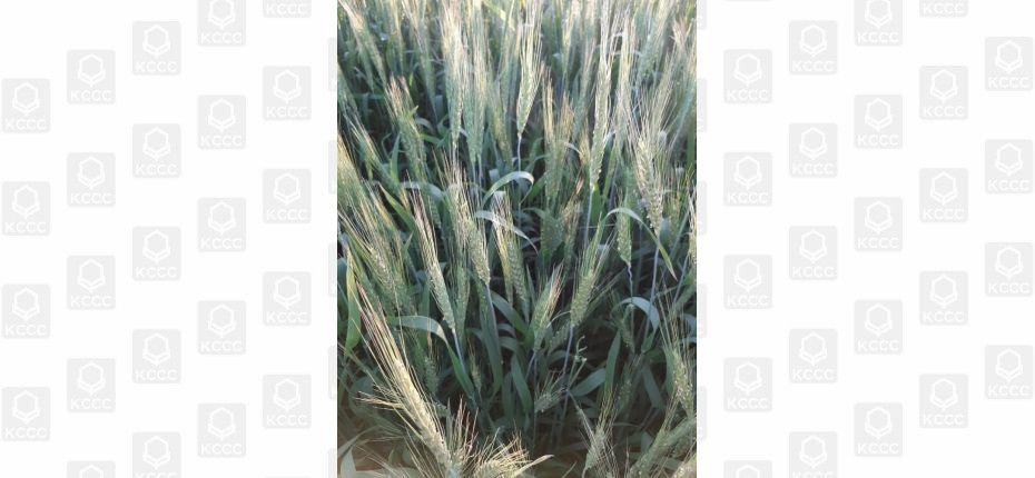 Профилактика фунгицидом даёт залог хорошего урожая и качественного зерна - ООО ТД Кирово-Чепецкая Химическая Компания