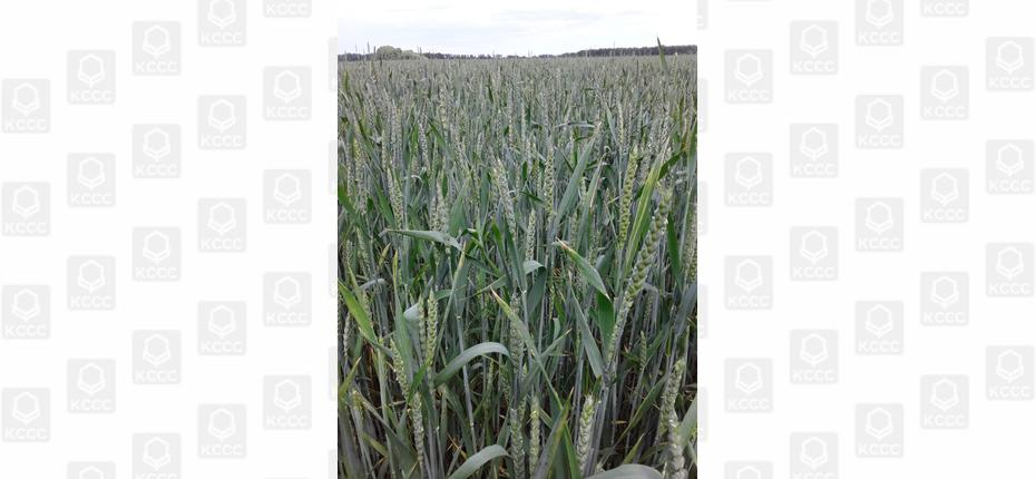 Защита зерновых - ООО ТД Кирово-Чепецкая Химическая Компания