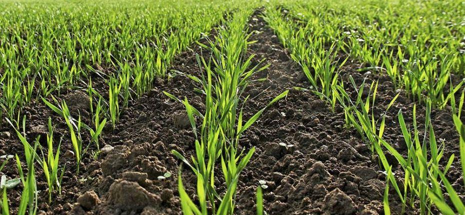 Отличный протратравитель семян озимой пшеницы Грандсил ультра,КС - ООО ТД Кирово-Чепецкая Химическая Компания