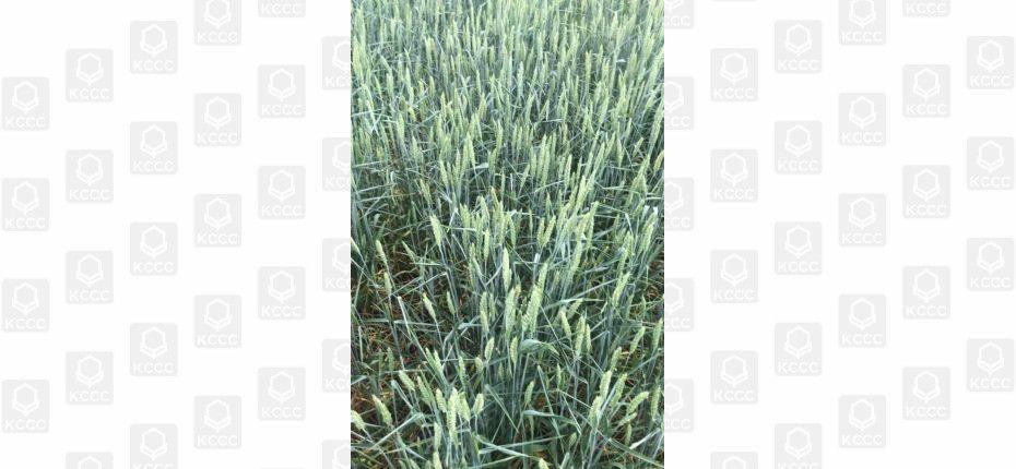 Гербицид на посевах зерновых от ТД