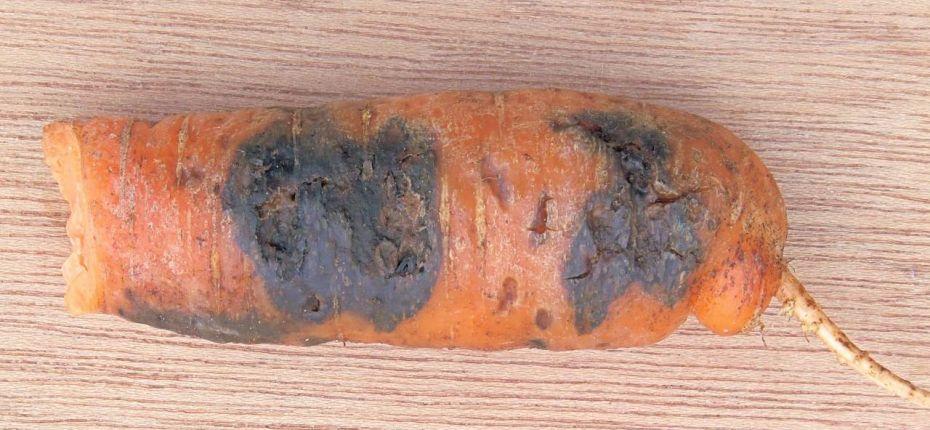 Черная гниль овощных зонтичных культур - Alternaria radicina Meier, Drechsler et E.D. Eddy; Stemphylium botryosum Wallr.