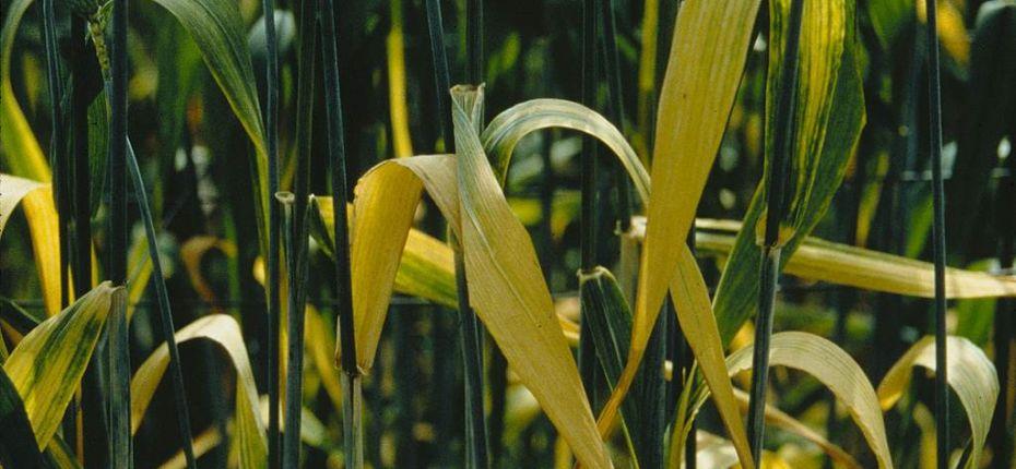 Желтая карликовость ячменя - Barley yellow dwarf luteovirus