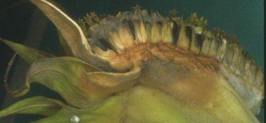 Серая гниль подсолнечника - Botryotinia fuckeliana (de Bary) Whetzel.(= Botrytis cinerea Pers.)