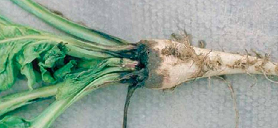 Корнеед сахарной свеклы - Fusarium spp. Li, Pythium spp, Phoma spp, Rhizoctonia spp., Aphanomyces spp., Penicillium spp.