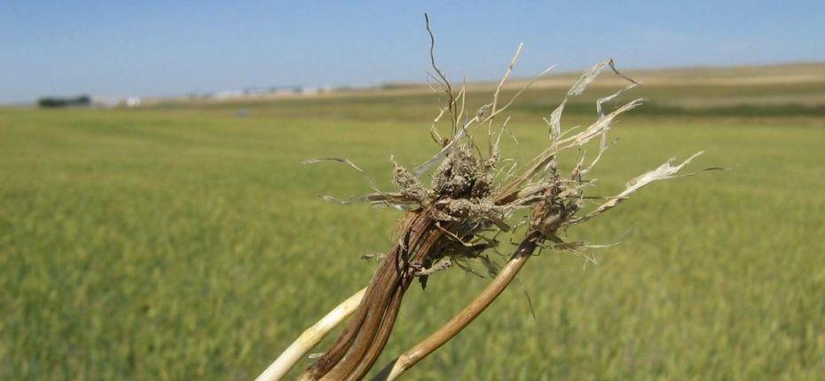 Фузариозная корневая гниль злаковых - Fusarium spp