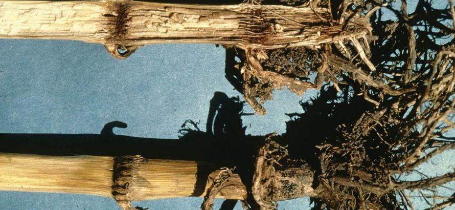 Стеблевая гниль кукурузы - Gibberella zeae (Schwein.)Petch.(= G. fujikuroi (Sawada) Ito in Ito&.Kimura)