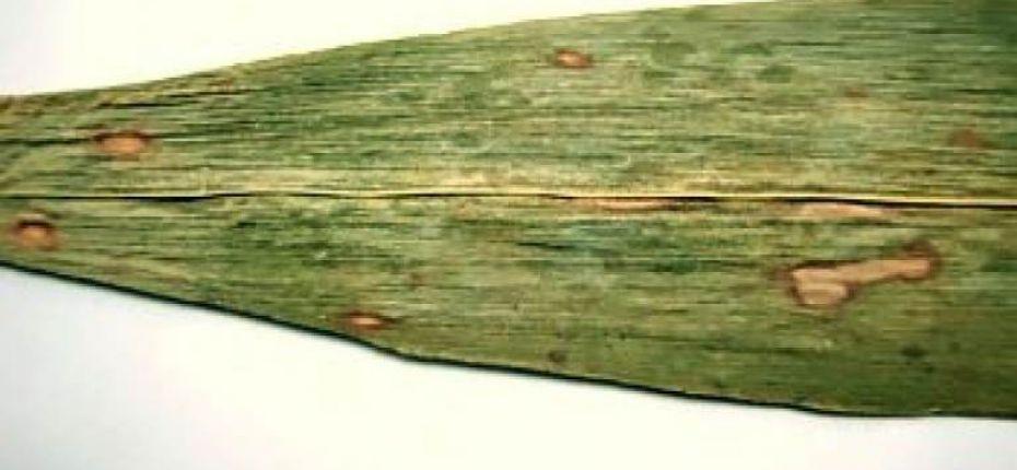 Гельминтоспориоз стеблей, початков и листьев кукурузы - Helminthosporium maydis Y. Nisik. & C. Miyake (=Drechslera maydis Nisik. & C. Miyake) Subram. & B.L. Jain