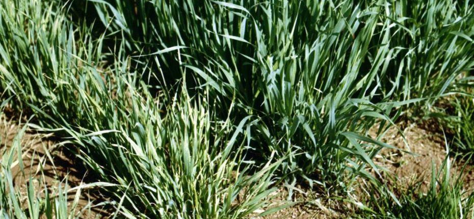 Вирус закукливания овса (ВЗО) - Oat pseudorosetter habdovirus (=Oat pupation disease virus, = oat Siberian mosaic virus, =Avena virus I Suchov et Vovk)