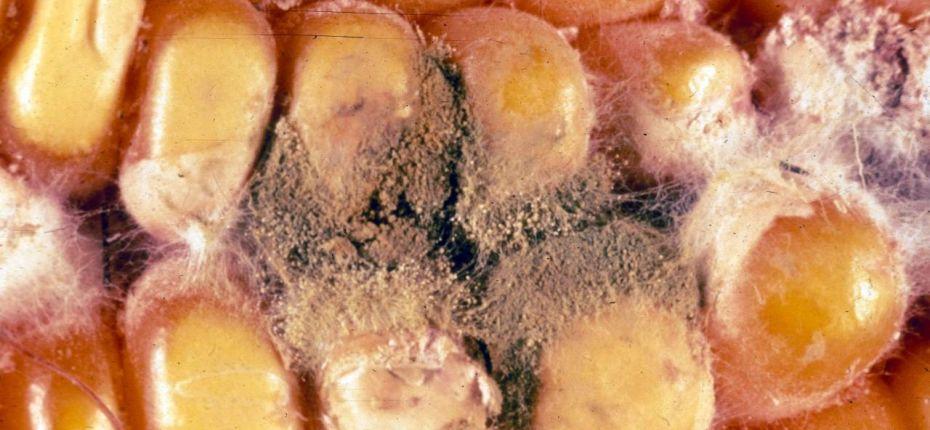 Плесневение семян - Penicillium viridicatum, Aspergillus glaucus, Trichotecium roseum, Fusarium spp., Mucor mucedo, Rhisopus nigricans
