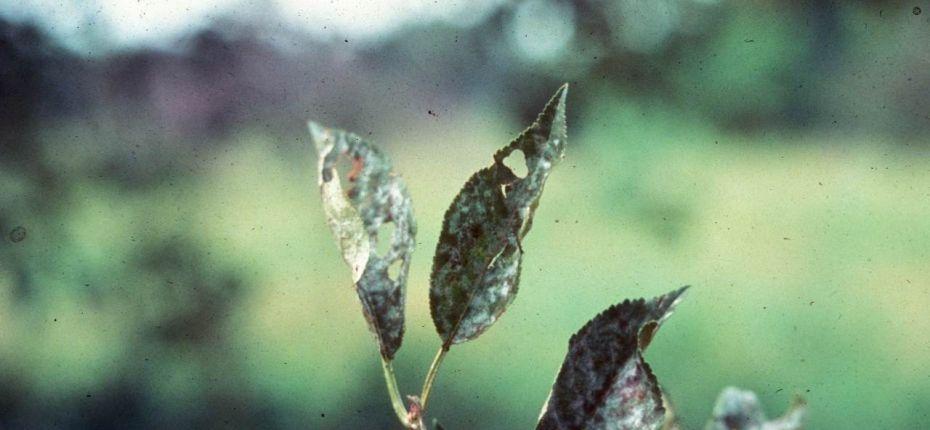 Мучнистая роса яблони - Podosphaera leucotricha Salm (анаморфа - Oidium farinosum)