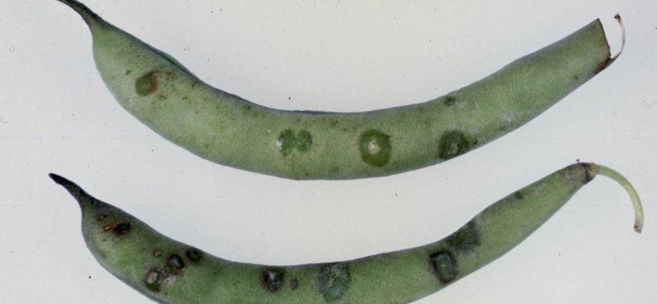 Угловатая бактериальная пятнистость фасоли - Pseudomonas syringae pv. phaseolicola (Burkholder) Young et al. (=Phytomonas medicaginis var. phaseolicola Burkholder; = Ph. puerariae (Hedges)  Bergey et al.; = Bacterium medicaginis var. phaseolicola (Burkholder) Link and Hull; = В. pueratiae Hedges ;= Pseudomonas medicaginis var. phaseolicola (Burkholder) Stapp and Kotte; = P. phaseolicola (Burkholder) Dowson; = Xanthomonas medicaginis var. phaseolicola Burkholder)