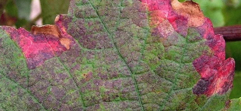 Краснуха винограда - Pseudopeziza tracheiphyla Mull.