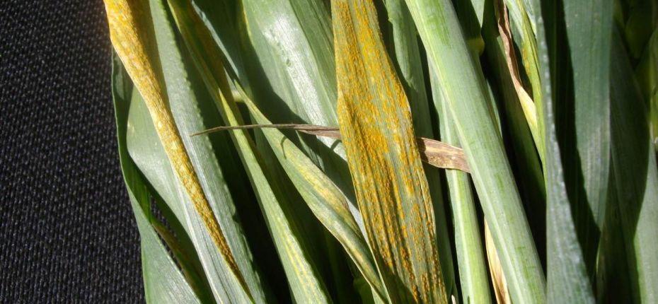 Желтая ржавчина злаковых культур - Puccinia striiformis