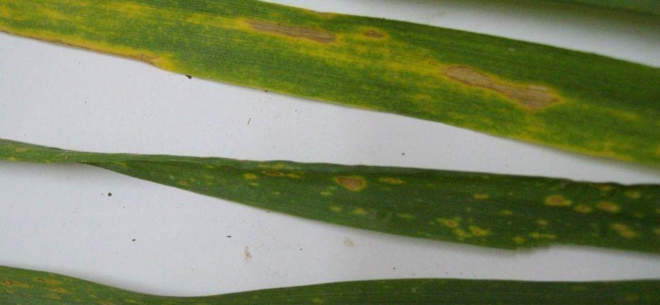 Желтая пятнистость пшеницы - Pyrenophora tritici-repentis (Died.) Drechsler