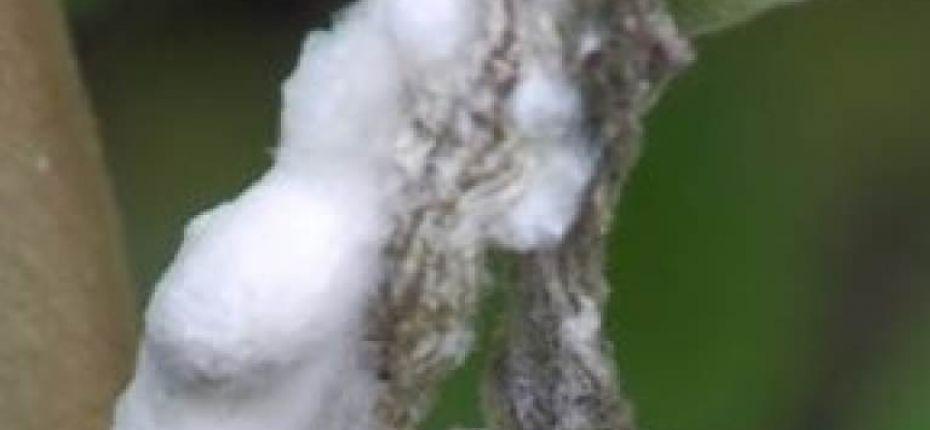 Белая гниль кукурузы - Sclerotinia sclerotiorum (Lib.) de Bary.(=Hymenoscyphus sclerotiorum (Lib.) W. Phillips, Peziza sclerotiorum Lib., Sclerotinia libertiana Fuckel, Sclerotium varium Pers., Whetzelinia sclerotiorum (Lib.)