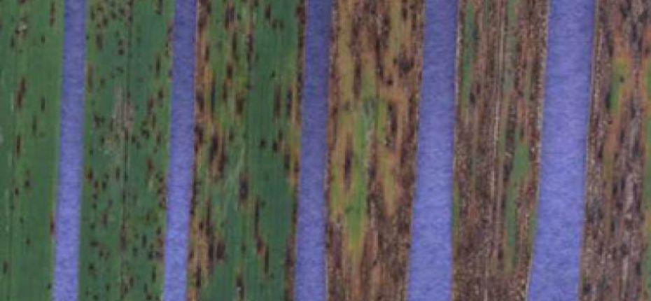 Желто-бурая пятнистость (сколекотрихоз) овса - Scolecotrichum graminis Fuckel (=Mycosphaerella recutita (Fr.) Johanson.)