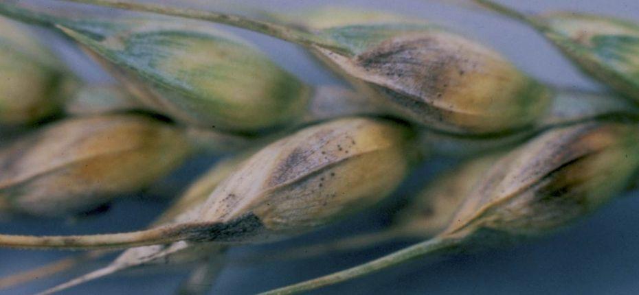 Септориоз колоса злаковых культур - Stagonospora nodorum (Berk.) Castellani & E.G. Germano (бесполая стадия) = Septoria nodorum (Berk.) Berk. in Berk. & Broome (половая стадия развития)