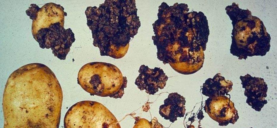 Рак картофеля - Synchitrrium endobioticum (Chilb.) Perc.