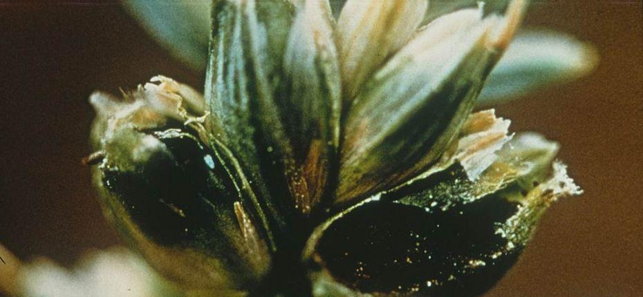 Твердая головня пшеницы - Tilletia caries (DC.) Tul., Tilletia laevis Kuehn