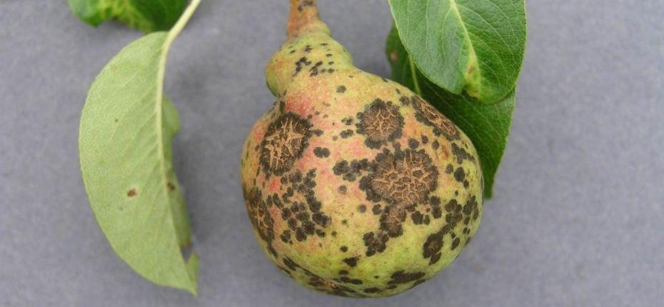 Парша груши - Venturia pirina Aderh , анаморфа - Fusicladium pirinum (Sib.) Fokl.