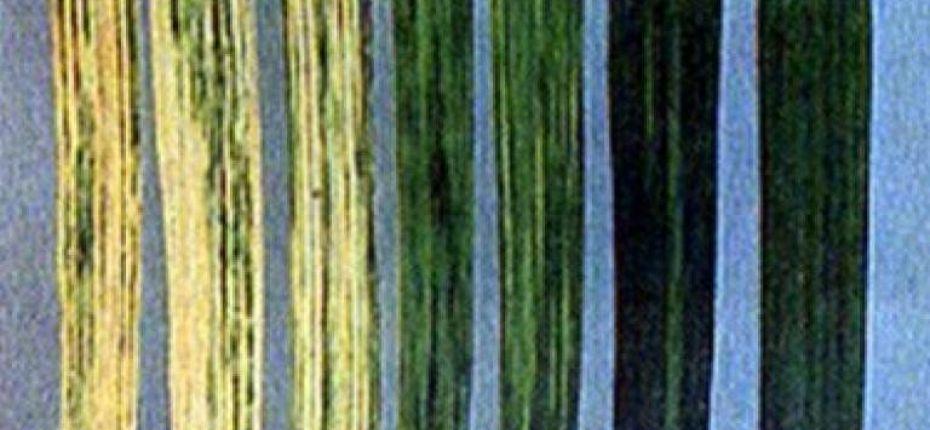 Вирус русской мозаики озимой пшеницы (ВРМОП) - Winter wheat Russian mosaic virus