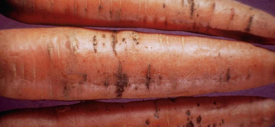 Бактериальный ожог моркови - Xanthomonas campestris pv. carotae (Kendrick) Dye (=Pseudomononas carotae Kendrick; = Phytomonas carotae Kendrick) (=Xanthomonas hortorum pv. carotae (Kendrick) Vauterin et al. )