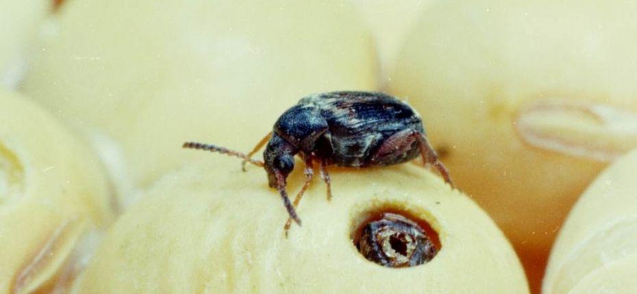 Фасолевая зерновка - Acanthoscelides obtectus Say.