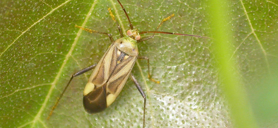 Люцерновый клоп - Adelphocoris lineolatus Goeze