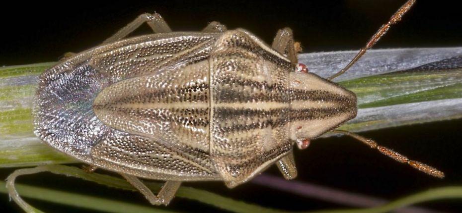 Элия остроголовая - Aelia acuminata L.
