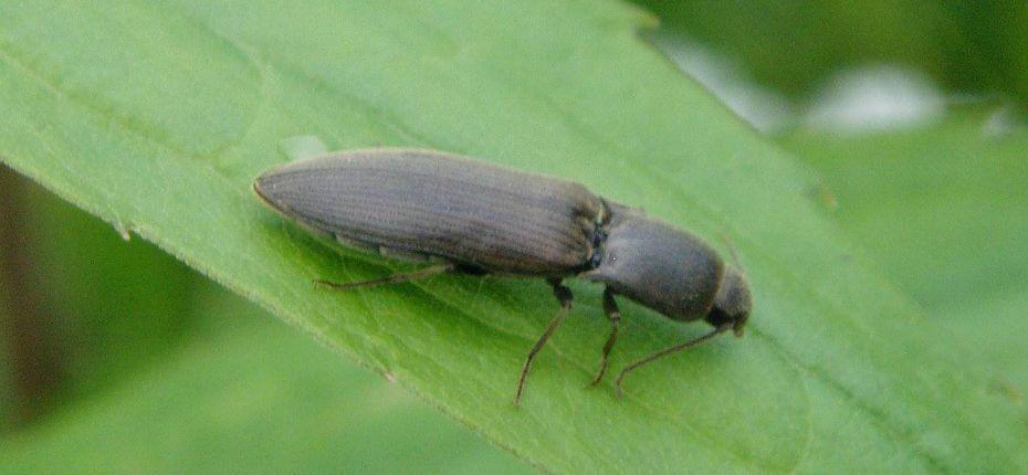 Щелкун полосатый - Agriotes lineatus (L.)