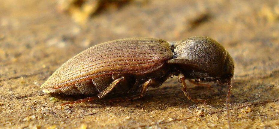 Темный щелкун - Agriotes obscurus L.