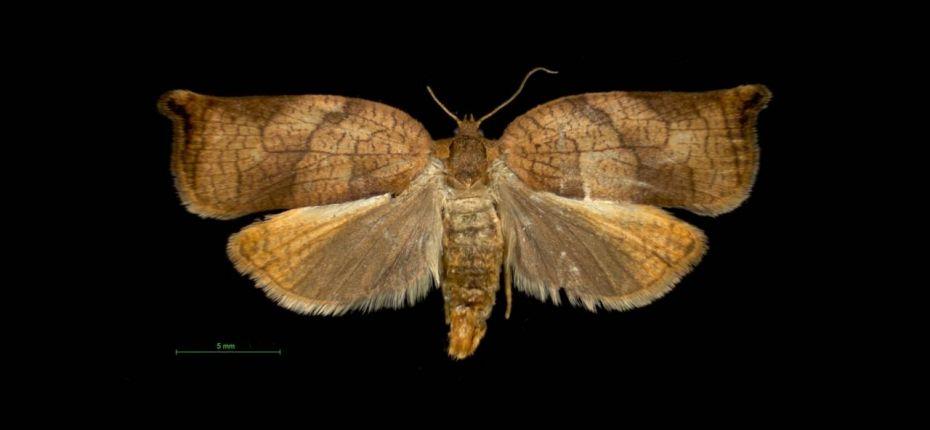 Всеядная листовертка - Archips podana Scop.