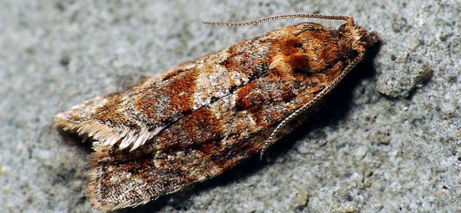 Многоядная листовертка - Argyrotaenia ljungiana (Thunberg)