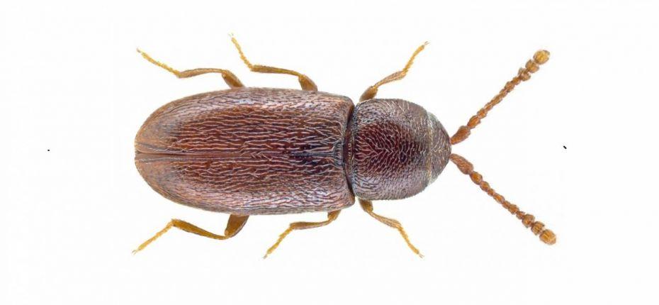 Крошка свекловичная - Atomaria linearis Steph.