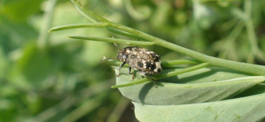 Гороховая зерновка - Bruchus pisorum L.