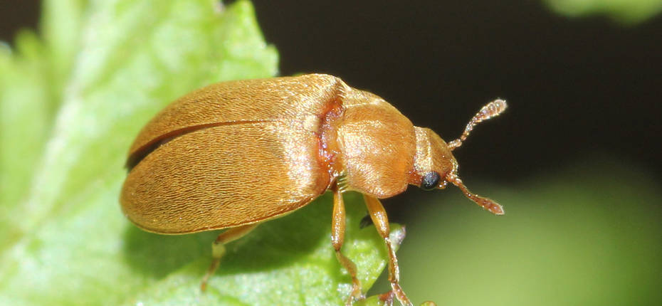 Малинный жук - Byturus tomentosus (De Geer)