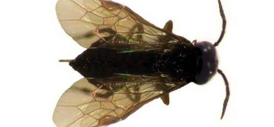 Вишнёвый слизистый пилильщик - Caliroa cerasi L.