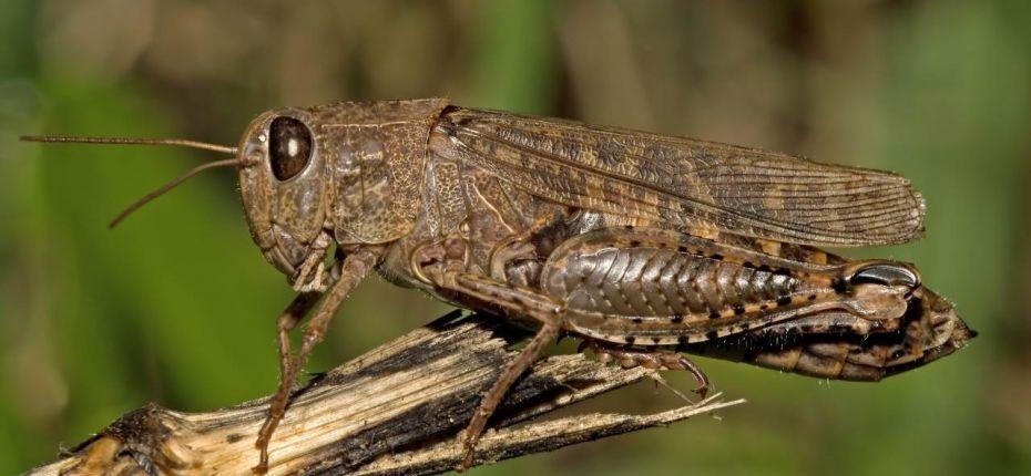 Прус (Саранча итальянская) - Calliptamus italicus (L.)