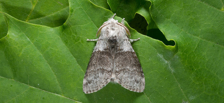 Краснохвост - Calliteara pudibunda L.